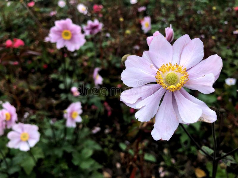 Autumn pink anemone flower close up. Perfect image for: blooming Japanese Anemone flowers, botanical garden, florist, wedding royalty free stock photos