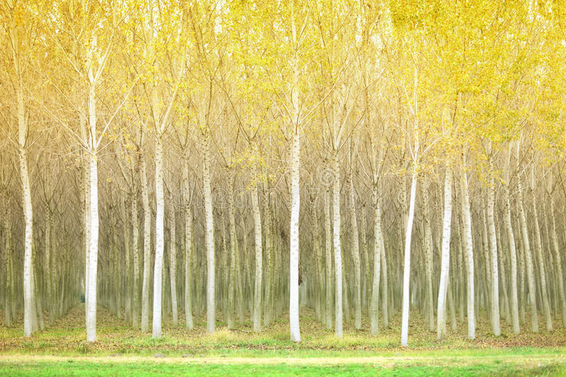 Download Autumn Poplar Trees Royalty Free Stock Images - Image: 26313499