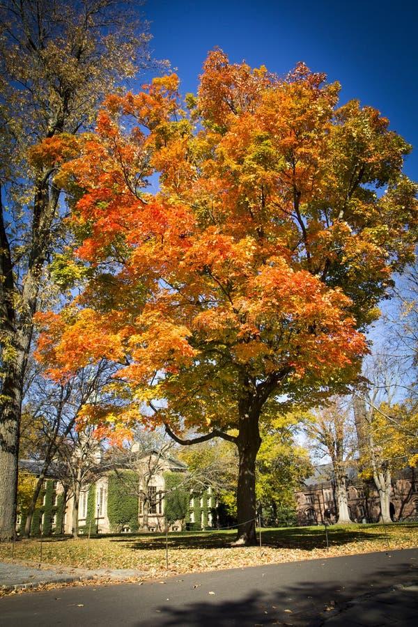 Autumn at Princeton University. A beautiful Maple tree boasts fall foliage at Princeton Universtiy in New Jersey stock image