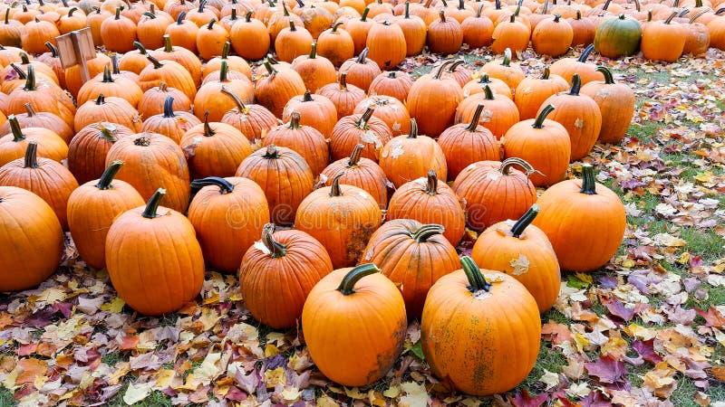 Autumn Pumpkin Patch imagem de stock