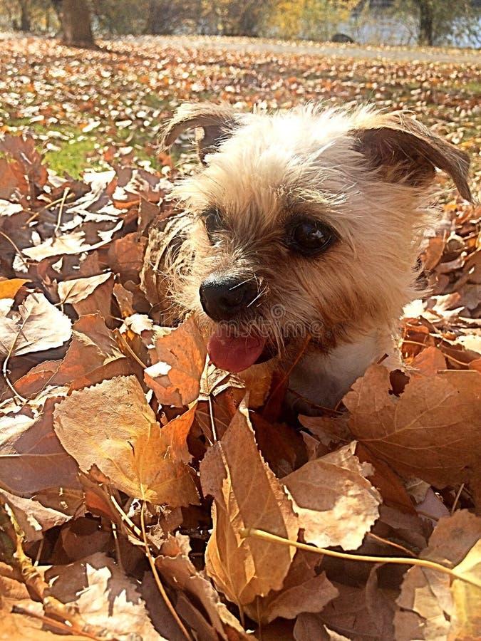 Autumn Puppy stock afbeelding