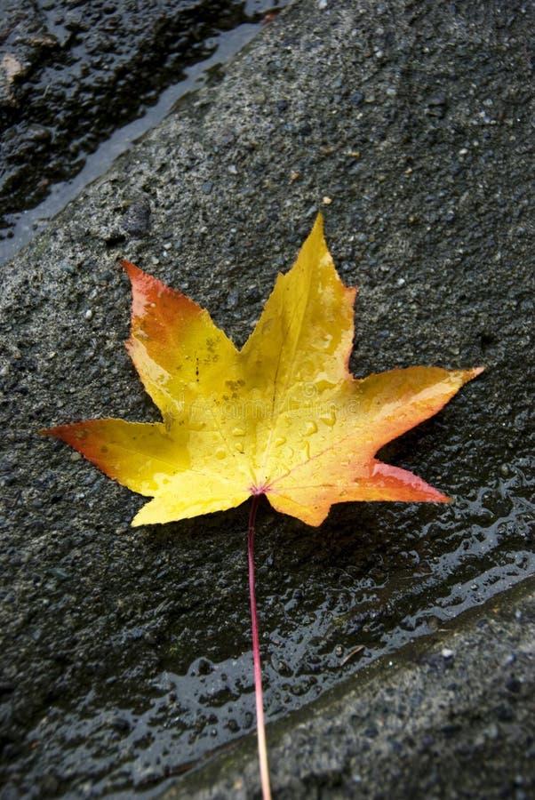 Autumn rain. Autumn leaf in a raining day royalty free stock photography