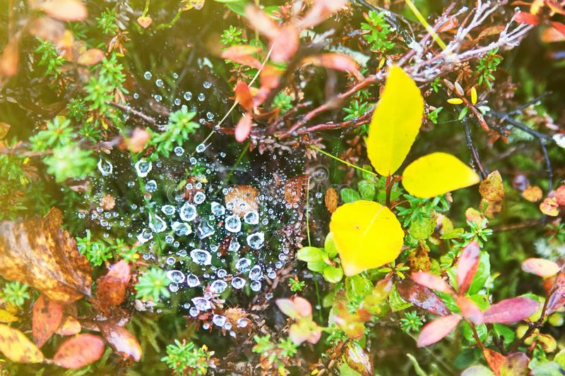 Autumn rain and drops on the spider web royalty free stock images