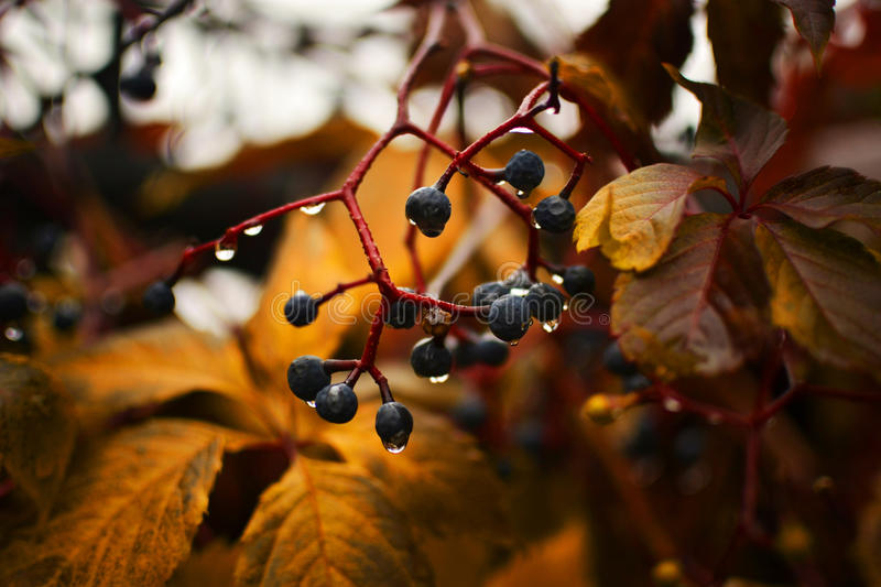 Autumn rain. Quiet, the warm autumn rain drops of water on a branch of grapes, background royalty free stock photos