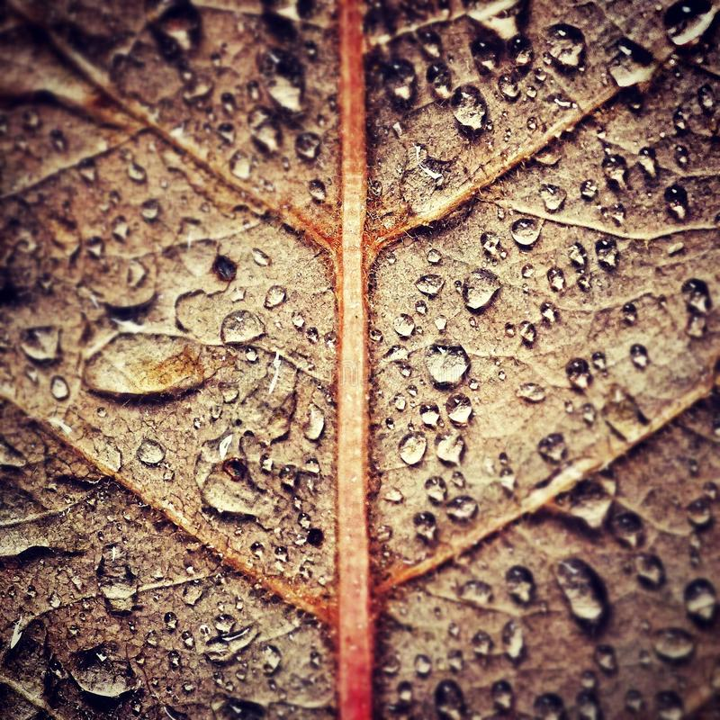 Autumn rain. On leaf with water droplets royalty free stock images