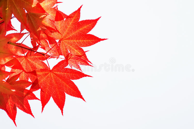 Autumn rea maple leaves. Autumn rea maple leaves on white background stock images