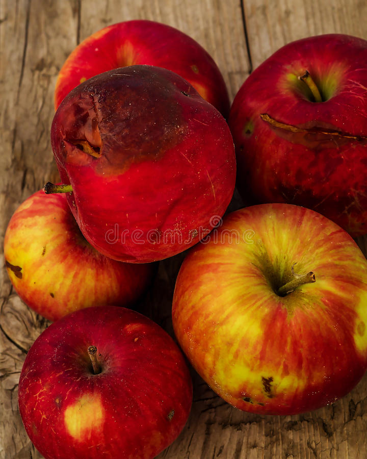 Autumn red apples closeup. Of a little rotten royalty free stock image