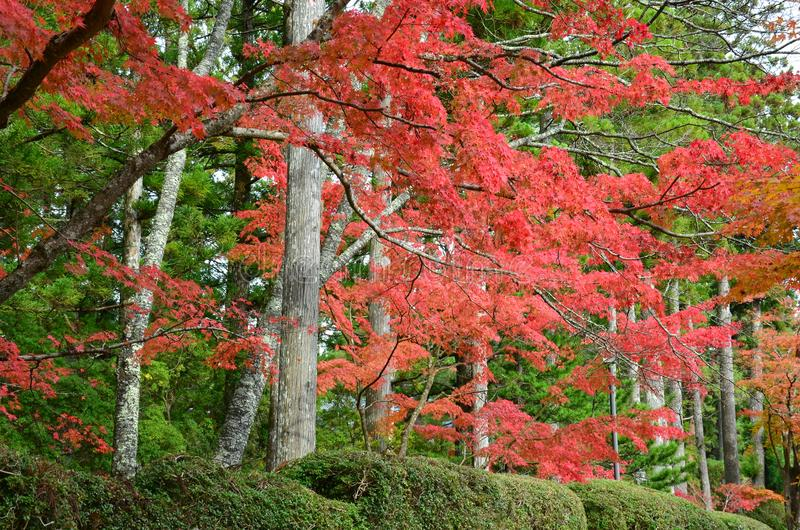 Autumn red color change Japan. Leaves a beautiful color change in Japan.Red Green Yellow royalty free stock image