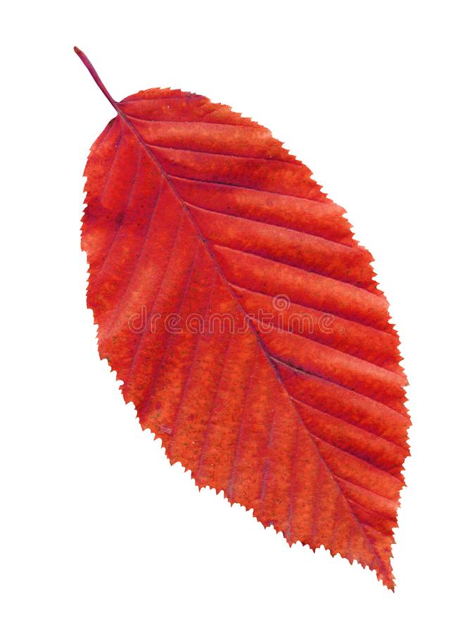 Autumn red elm leaf isolated on white background stock photo