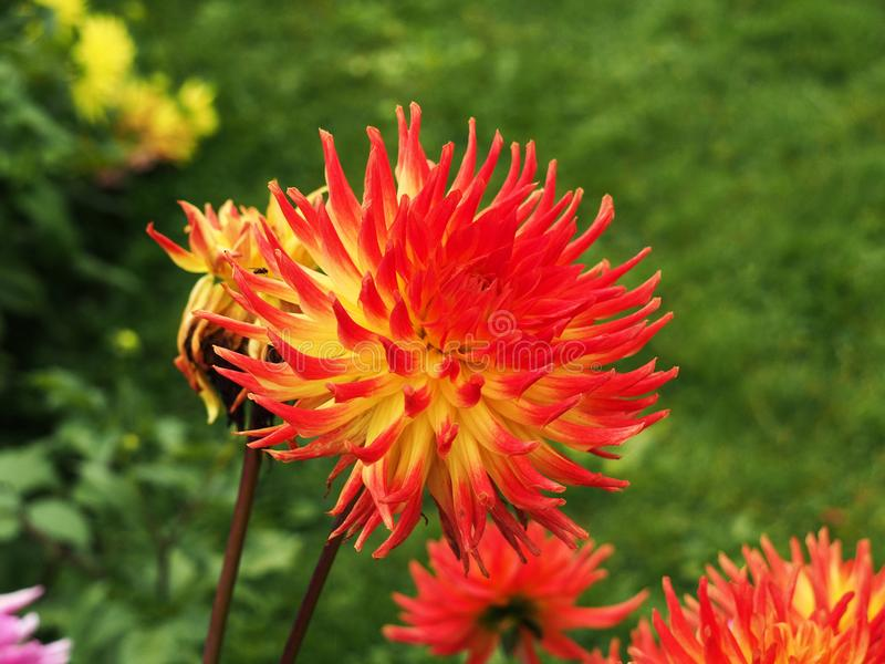 Autumn flowers red aster stock photos