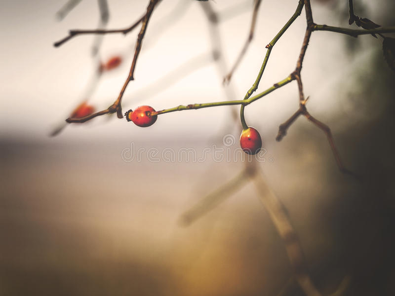 Autumn red hawthorn macro. With a blurry background stock images