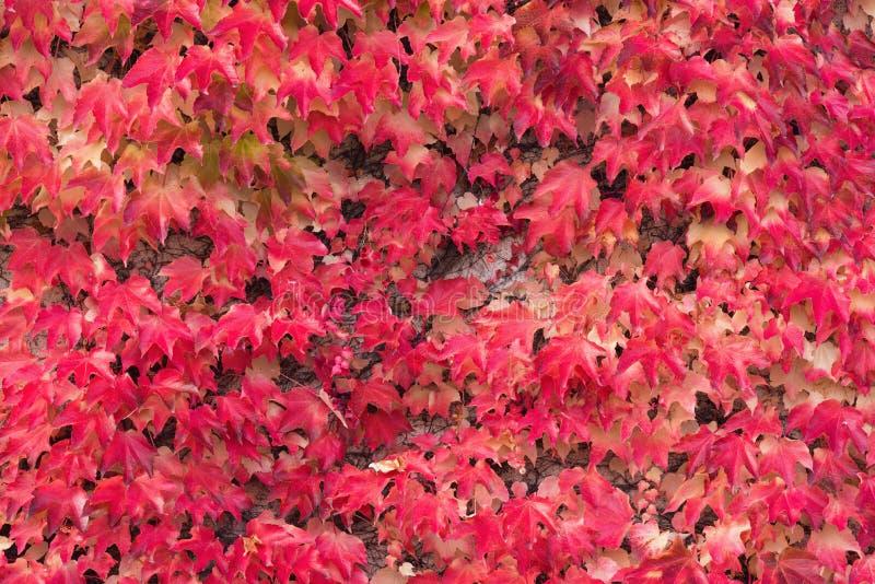 Autumn Red Ivy Background Bladeren van Ivy Covering The White Wall in Milotice-Kasteel, Tsjechische Republiek Ivy Hedera-schroef  stock afbeeldingen