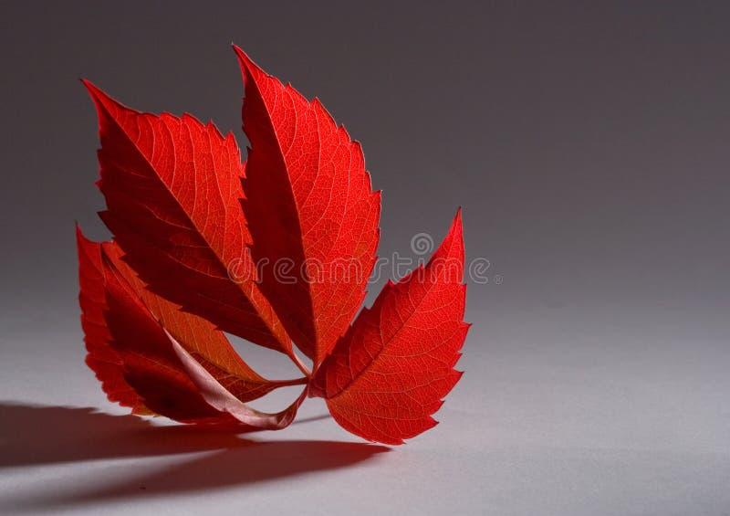 Autumn red leaf stock photo