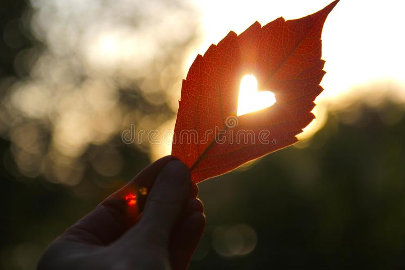 Autumn red leaf with cut heart in a hand.  stock photos