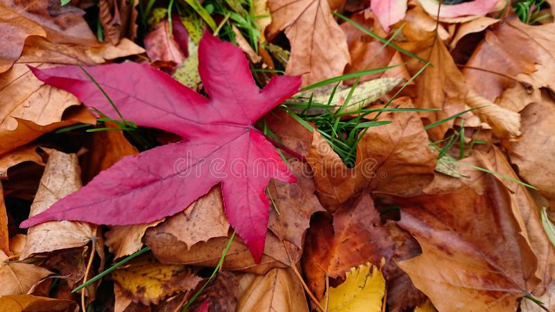 Autumn Red Leaf. A fallen red leaf hovering above golden dry leaves stock photo