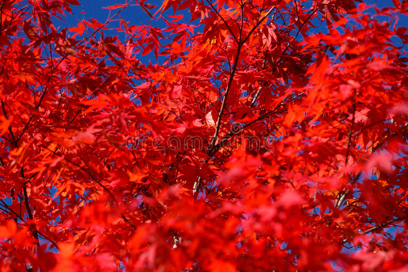 Autumn - Red Maple. Autumn and glowing red maple royalty free stock image