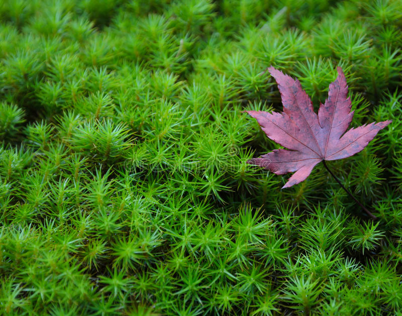 Autumn red maple foliage on moss royalty free stock photography