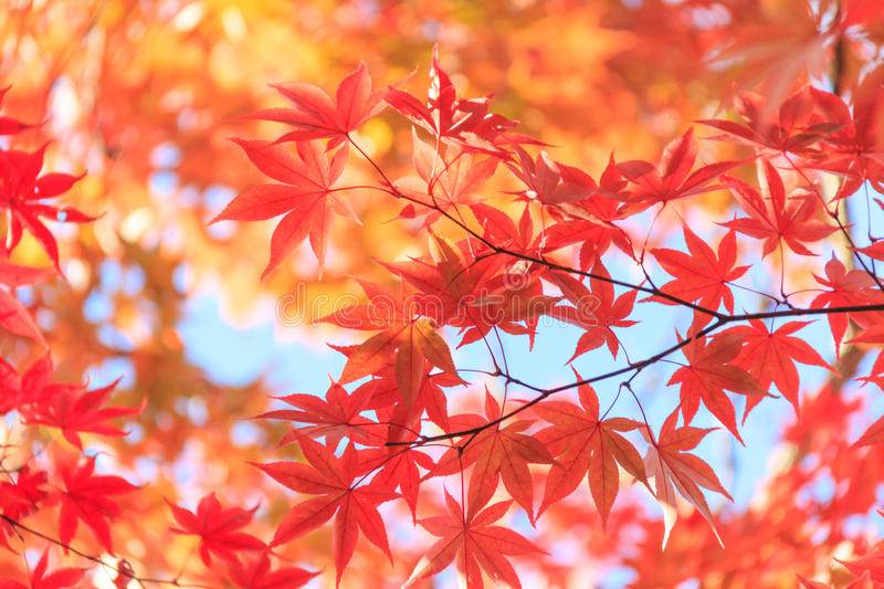 Autumn red maple leaves background stock images