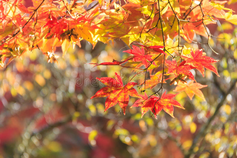 Autumn red maple leaves background royalty free stock photography