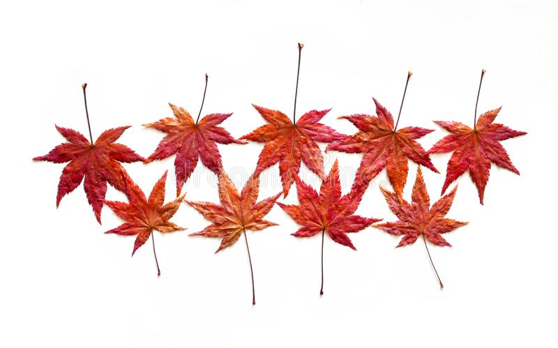 Autumn red maple leaves with water drops stock photography