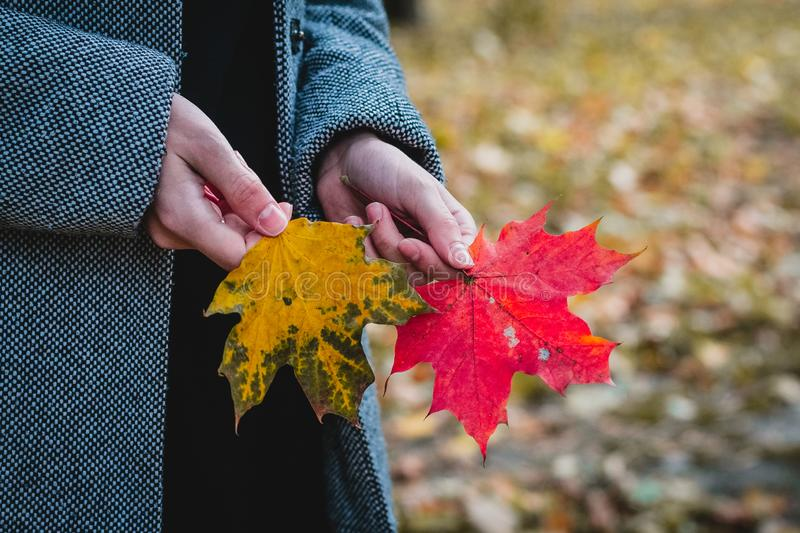 Autumn red and orange maple leaves in woman hand. Red and orange maple leaves in woman hand stock photography