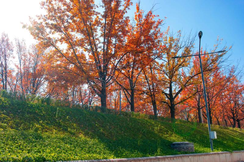 Autumn red trees in a row on a green hill lawn. Along the sidewalk stock image