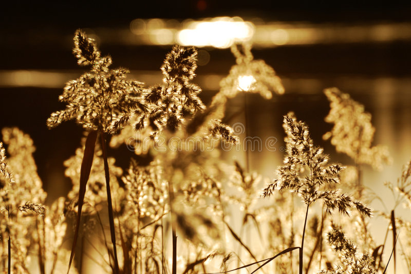 Autumn reed. Abstract background of autumn reed in sunset, elk island national park, edmonton, alberta, canada stock photography