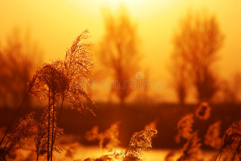 Autumn reed royalty free stock photos