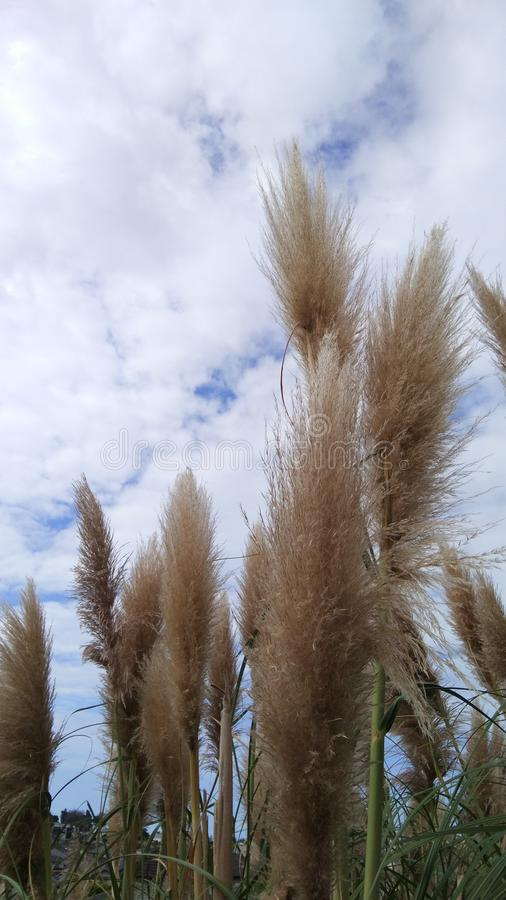 Autumn reed. Blue white cloud stock images