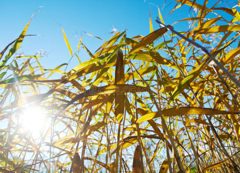 Autumn reed in bright light. Shallow depth-of-field stock image