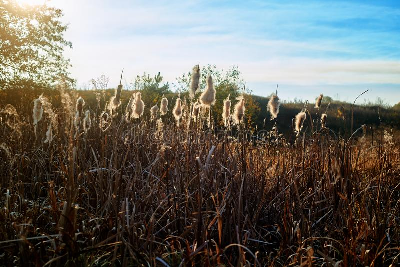 Autumn reed mace against the sun stock photo