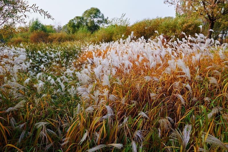 The autumn reed. The photo was taken in Sun Island park Harbin city Heilongjiang province, China royalty free stock photos