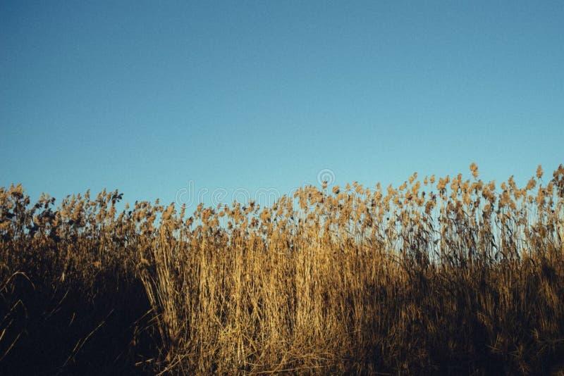 Autumn Reed Free Public Domain Cc0 Image