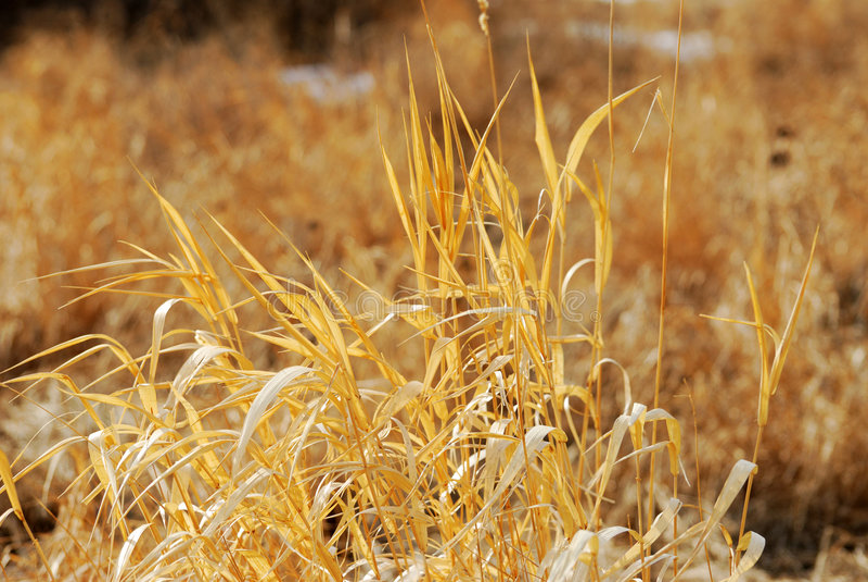 Autumn reeds stock photo