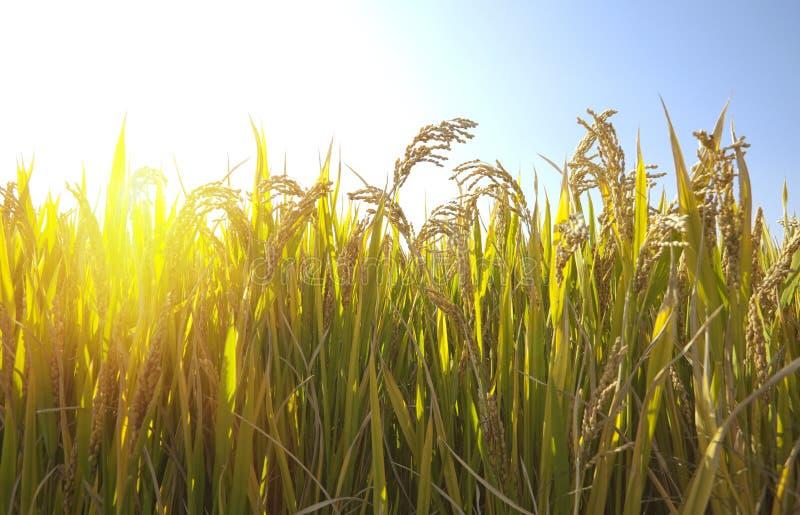 Autumn Rice image stock