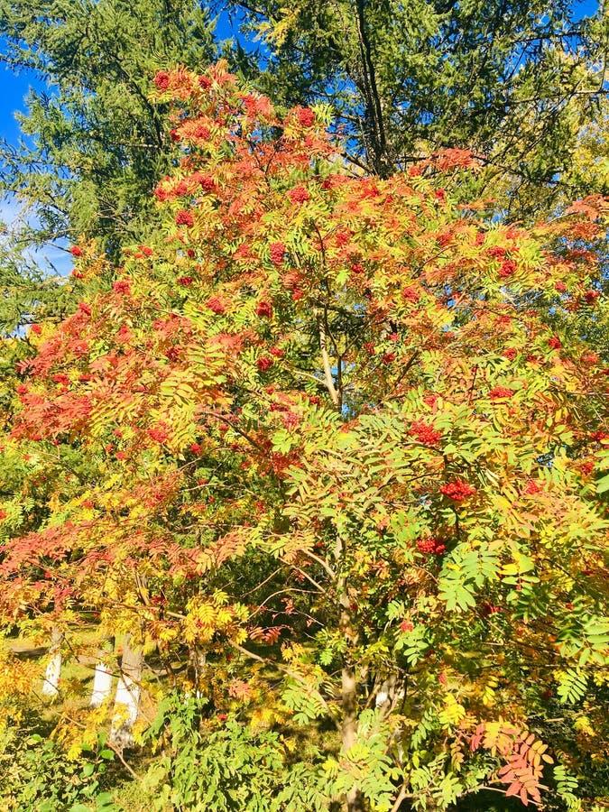 Autumn Roman cespuglio immagini stock libere da diritti