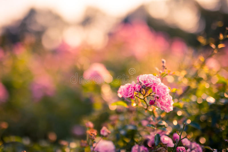 Autumn roses and soft background. Beautiful colorful background with pink rose stock image