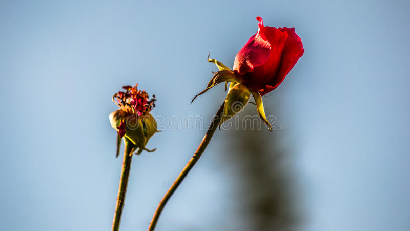 Autumn roses royalty free stock photography
