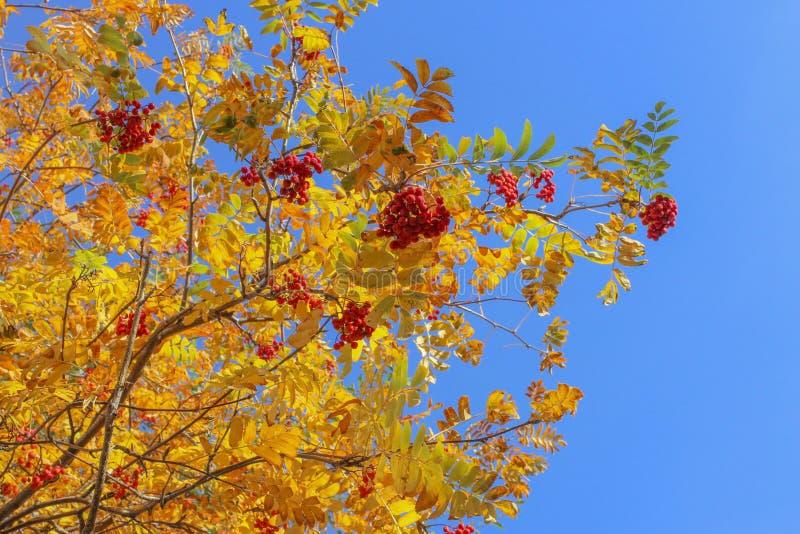 Autumn Rowan lizenzfreies stockbild