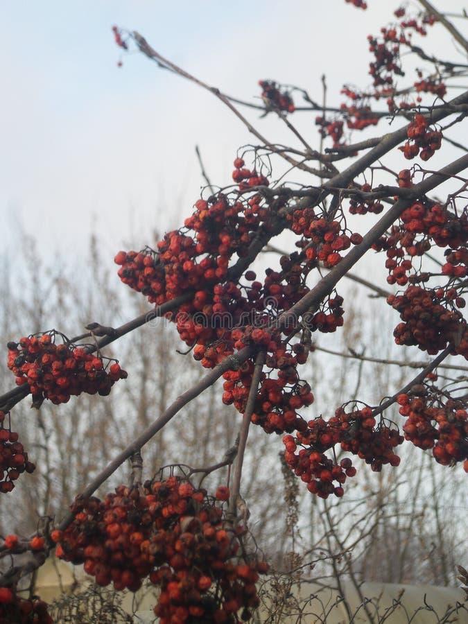 Autumn Rowan fotografia stock