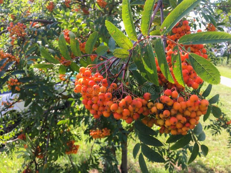 Autumn rowan berries in red stock image
