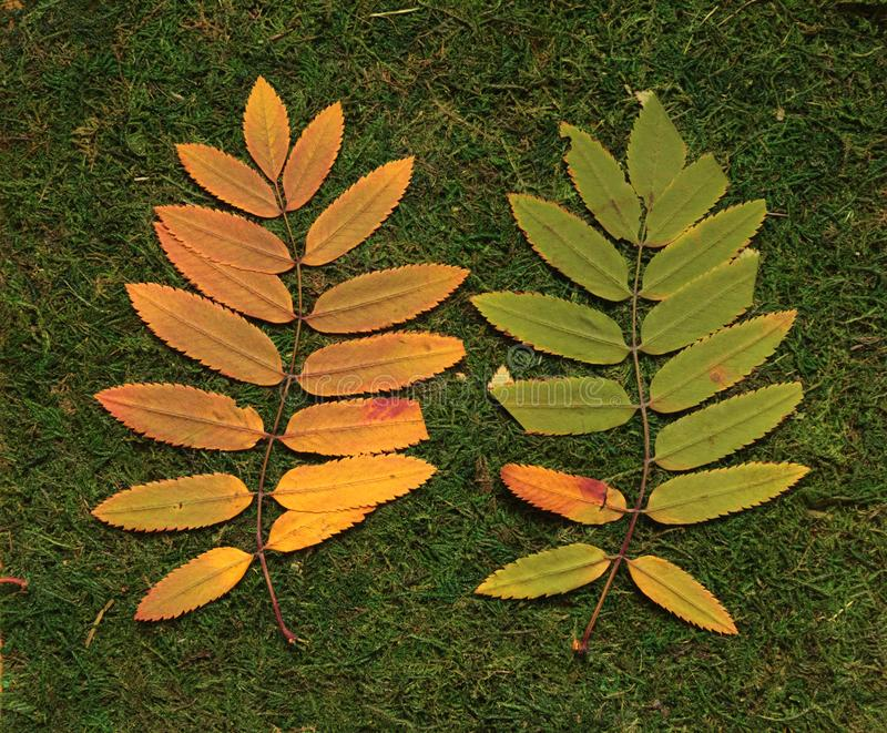 Rowan leaves on green background stock image