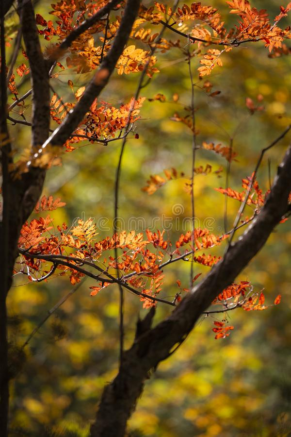 Autumn Rowan or Mountain Ash Sorbus. In the Cairngorms National Park of Scotland royalty free stock images