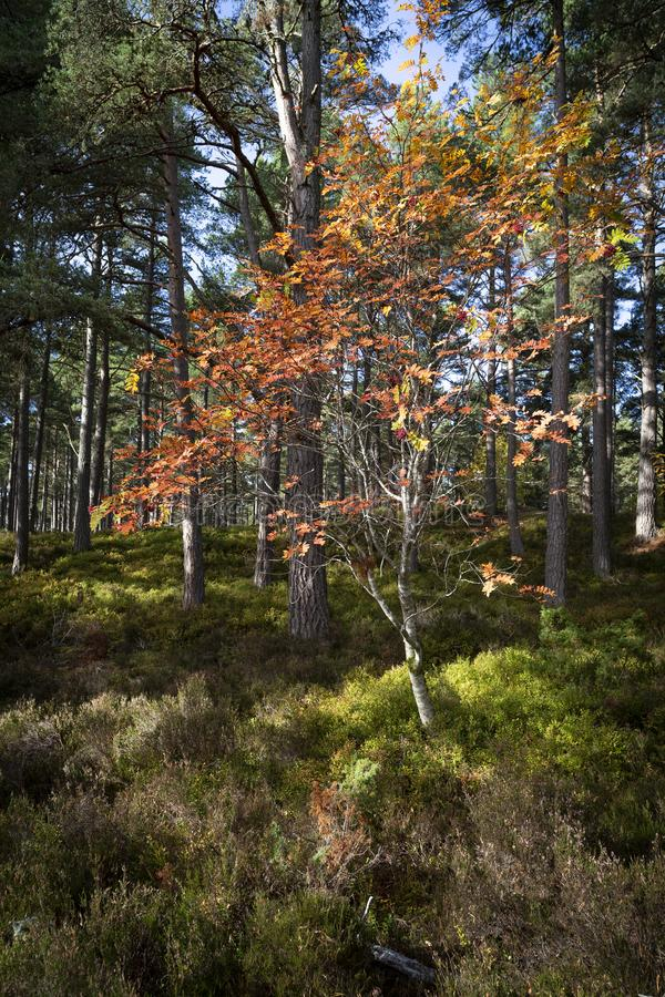Autumn Rowan or Mountain Ash Sorbus. In the Cairngorms National Park of Scotland stock images