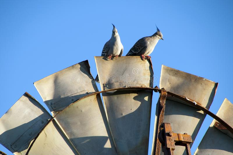 Topknot pigeons perched on top of windmill blade in the late afternoon sun. Autumn in rural South Australia around Quorn royalty free stock image