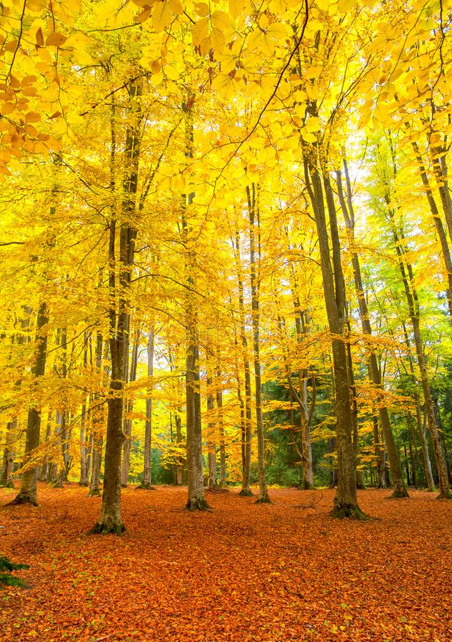 Autumn rustic forest landscape with foliage. Like a carpet royalty free stock photos