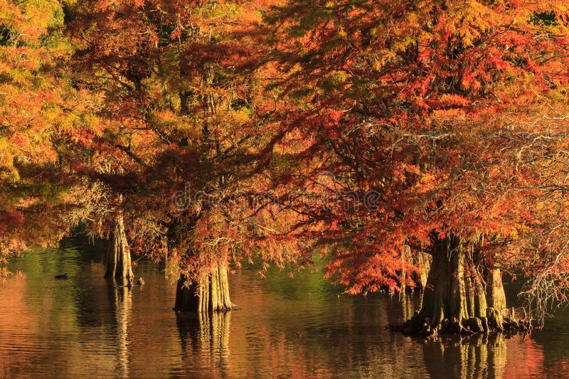 Autumn scene: bald cypresses with fall foliage royalty free stock images