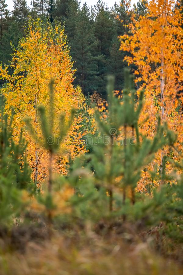 Autumn scene in forest with colorful autumn trees stock photos