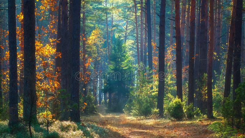 Autumn scene. Forest in morning sunlight. Scenery fall. Autumn nature landscape. Colorful october morning in woodland. Autumn scene. Forest in morning sunlight stock image