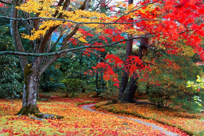 Autumn scenery of a beautiful Japanese garden with a pathway winding through a forest of colorful maple trees royalty free stock images